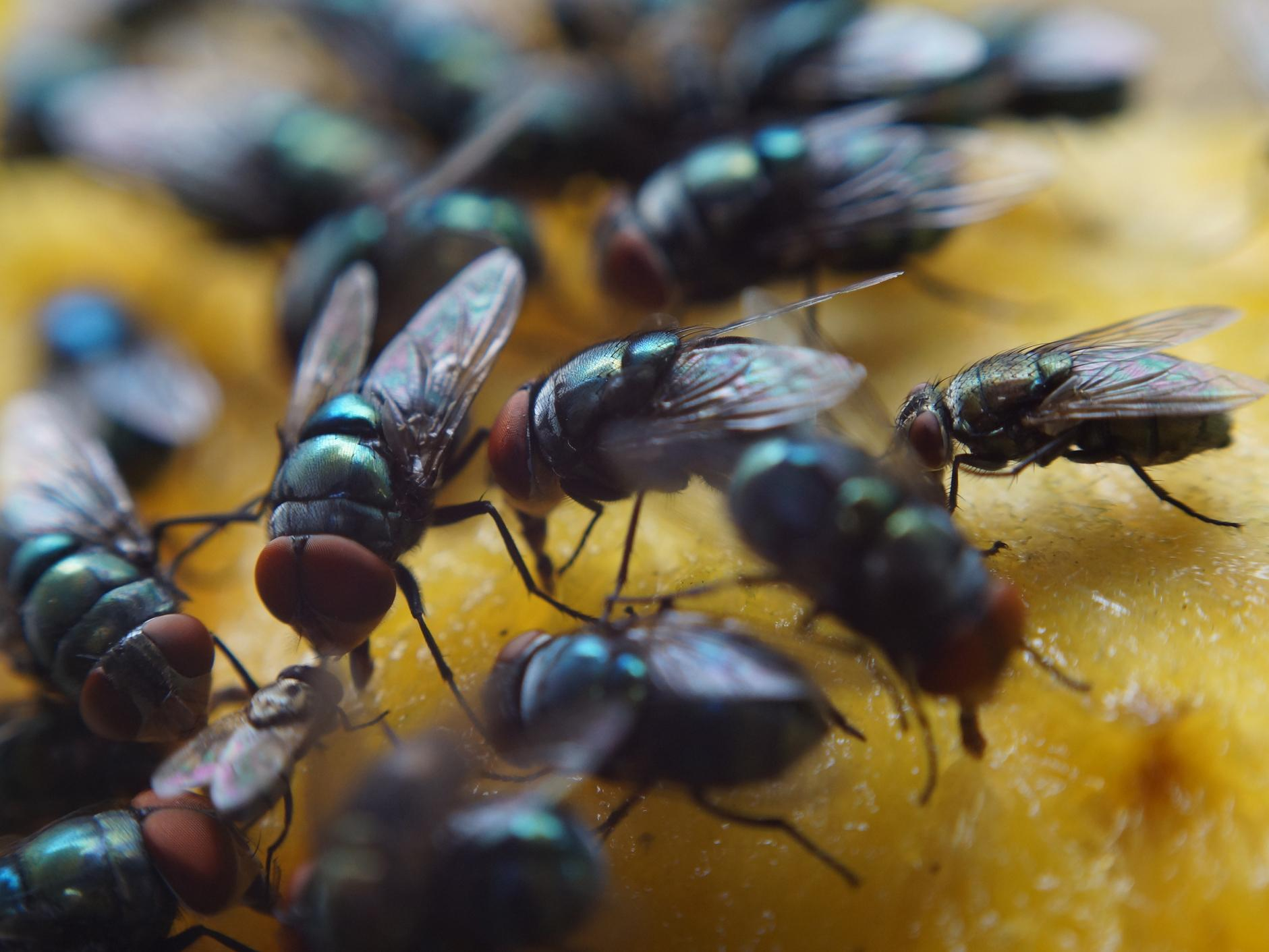 What Are The Common Flies & Why Are They A Threat To Humans?